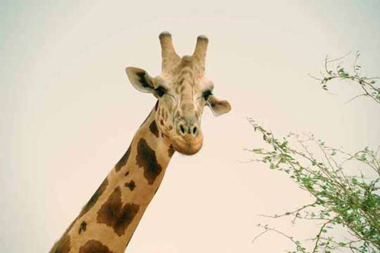 One of the last West African giraffes