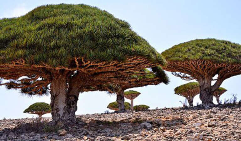 Dragon's Blood Trees Socotra Yemen
